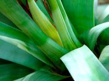 Сырье для текилы поможет справиться с остеопорозом