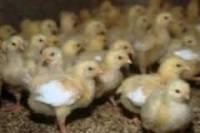 Японские ученые вывели кур, несущих гипоаллергенные яйца